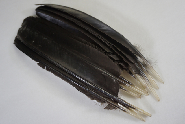 12 Adult Spanish Black Primary Wing Feathers Grade #1