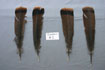 12 Adult Eastern Tail Feathers Grade #2
