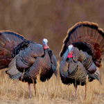 two gobblers with tail fans spread